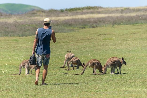 Turysta zrobione zdjęcie do grupy szarego kangura w australii. koncepcja natury. koncepcja dzikiej przyrody
