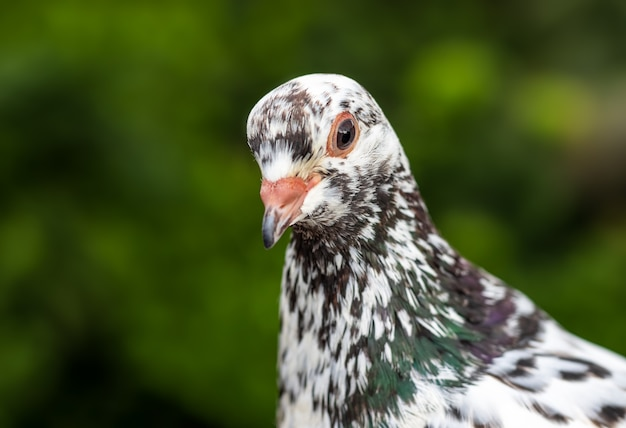 Twarz gołębia z bliska z rozmytym tłem i selektywną ostrością