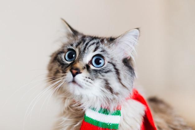 Twarz kota z dużymi niebieskimi oczami i czerwonym szalikiem