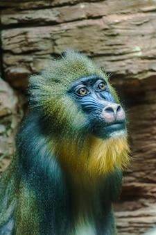 Twarz mandryla (sfinks mandrillus)