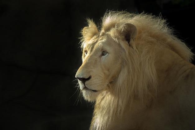 Twarz męskiego białego lwa na czarnym tle.