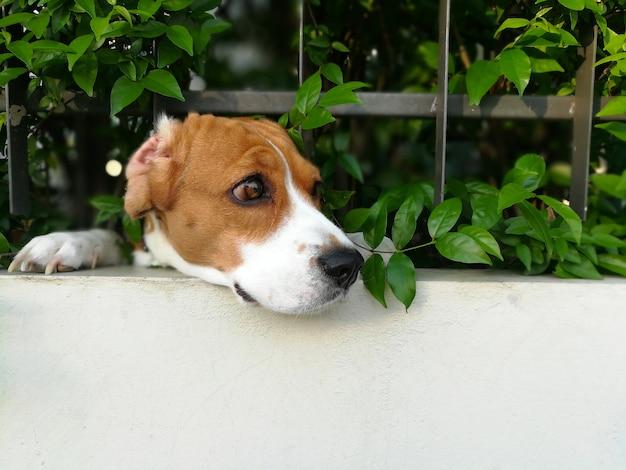 Twarz psa rasy beagle przechodzi przez przesuwane ogrodzenie domu w akcji wartownika.