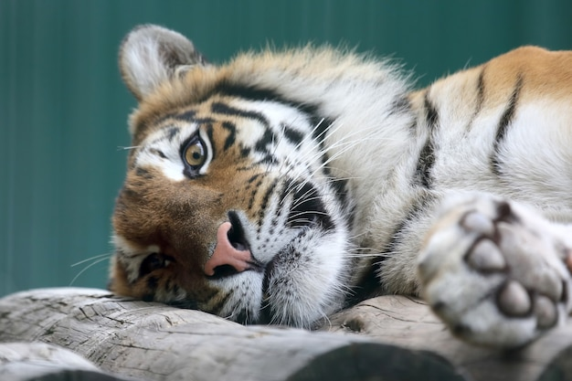 Tygrys amurski odpoczywa na drzewie zbliżenie close