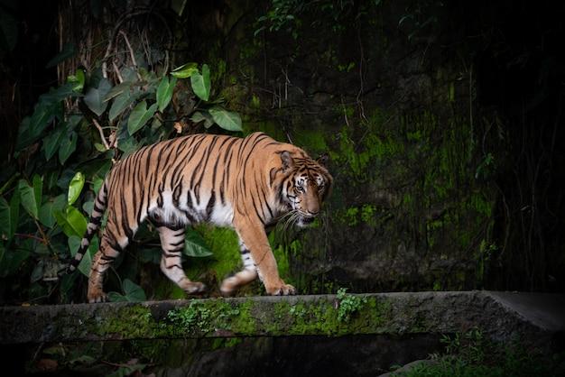 Tygrys bengalski, duża przyroda carnivore w lesie