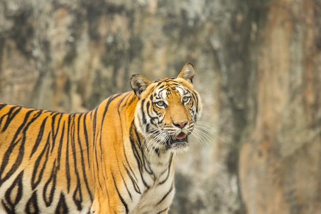 Tygrys bengalski myśliwy w naturze.