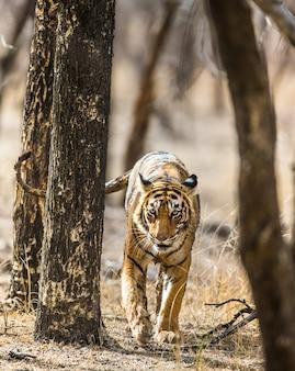 Tygrys bengalski przemierza drzewa parku narodowego ranthambore. indie.
