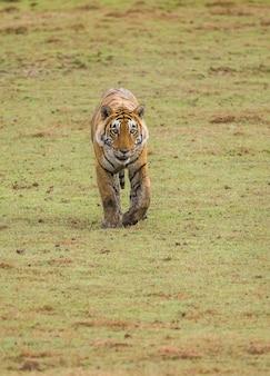 Tygrys bengalski spaceruje po trawie w parku narodowym ranthambore. indie.