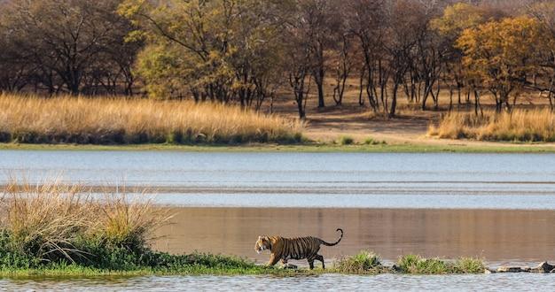 Tygrys bengalski spaceruje wzdłuż jeziora w pięknej scenerii. park narodowy ranthambore. indie.