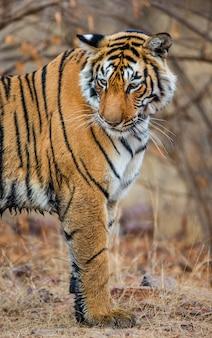 Tygrys bengalski w parku narodowym ranthambore. indie.