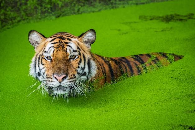 Tygrys bengalski w wodzie