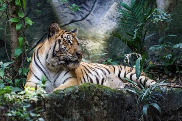 Tygrys bengalski z bliska jest pięknym zwierzęciem i niebezpiecznym w lesie
