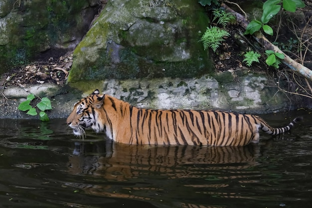 Tygrys bengalski z bliska jest pięknym zwierzęciem i niebezpiecznym w wodzie w lesie