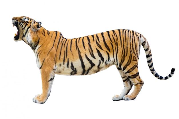 Tygrys białe tło odizoluj całe ciało