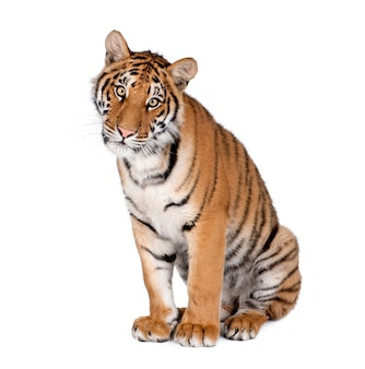 Tygrys bongal na białym tle