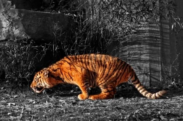 Tygrys cub