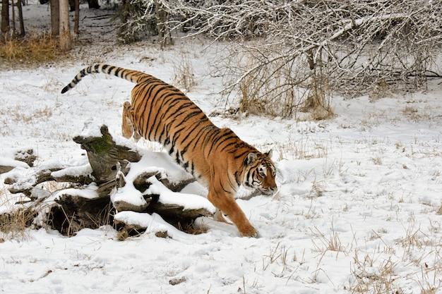 Tygrys kończący skok przez ośnieżoną powaloną kłodę w zimie