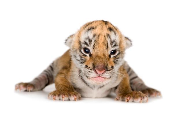 Tygrys młode (4 dni) na białym tle