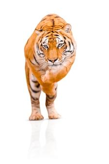 Tygrys na białym tle. niebezpieczne skoki tygrysa amurskiego.