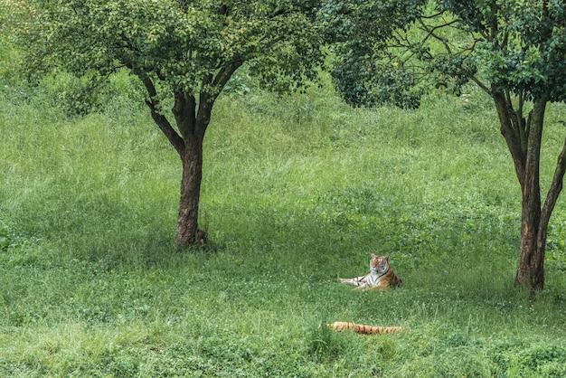 Tygrys na zielonej trawie