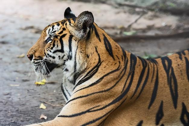 Tygrys odpoczywa w ciągu dnia na wybiegu w zoo, dzikie zwierzę w przyrodzie.