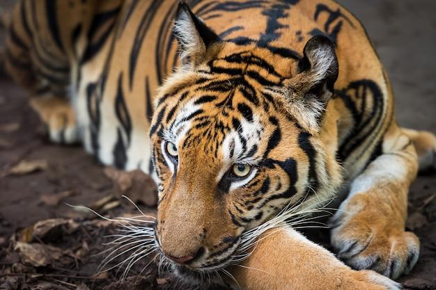 Tygrys odpoczywa w ciągu dnia na wybiegu zoo / dzikie zwierzę w przyrodzie
