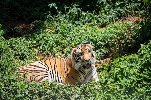 Tygrys odpoczywa w lesie.