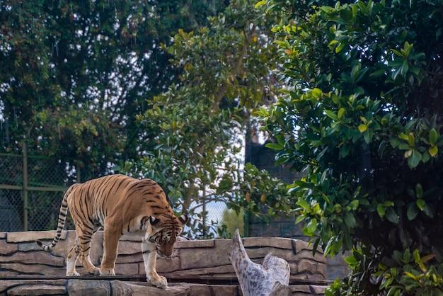 Tygrys odpoczywa w trawie, naturze, dzikich zwierzętach.
