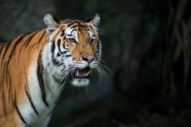 Tygrys odwracając wzrok w lesie