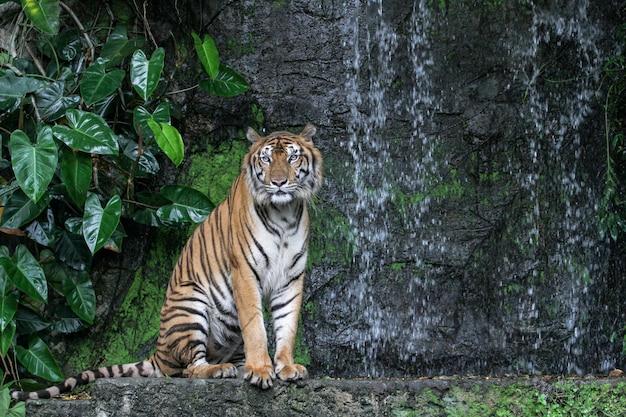 Tygrys pokazuje język chodzący przed mini wodospadem