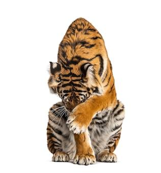 Tygrys siedzi i chowa głowę, na białym tle