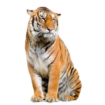 Tygrys siedzi na białym tle.