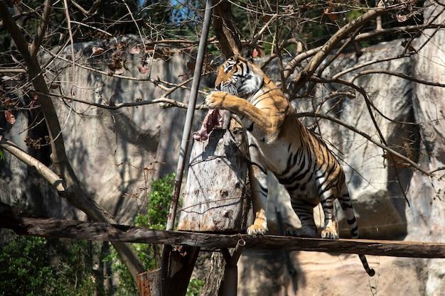 Tygrys skoczył do jedzenia na wystawie w zoo.