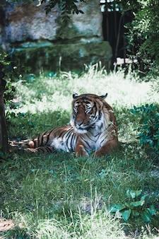 Tygrys śpi na trawie w zoo