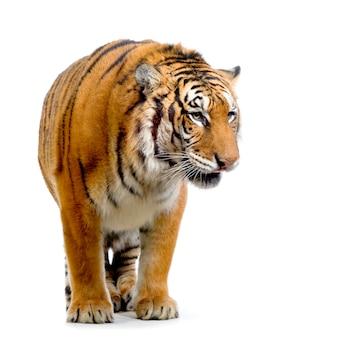 Tygrys stojący na białym tle.