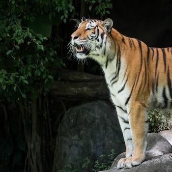 Tygrys stojący na skale w lesie