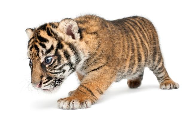 Tygrys sumatrzański, panthera tigris sumatrae, 3 tygodnie. portret tygrysa na białym tle