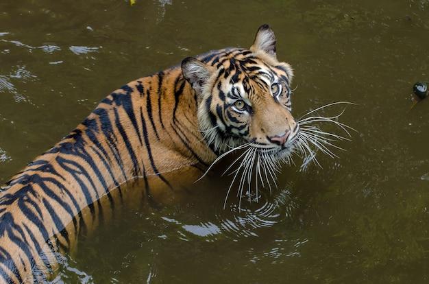 Tygrys sumatrzański pływa w stawie