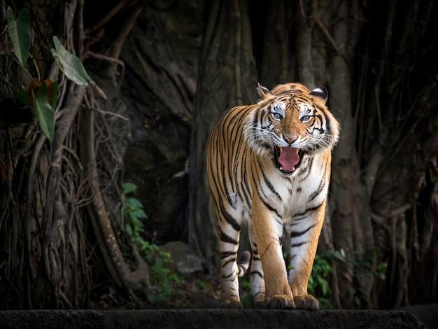 Tygrys sumatrzański stojący w leśnej atmosferze.