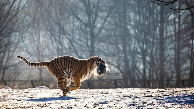 Tygrys syberyjski biegnie po śniegu i łapie zdobycz. park tygrysów syberyjskich.