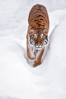 Tygrys syberyjski chodzenie w białym śniegu