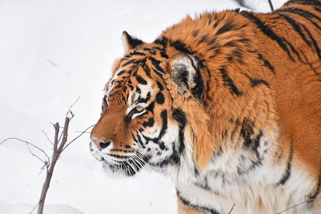 Tygrys syberyjski chodzi w białym śniegu