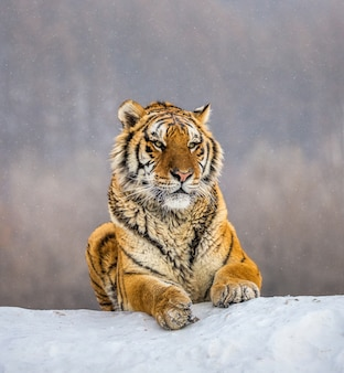 Tygrys syberyjski leżący na ośnieżonym wzgórzu. portret przed zimowym lasem. park tygrysów syberyjskich
