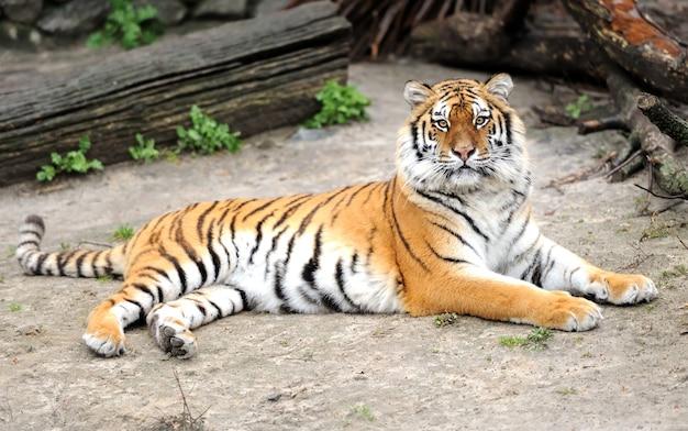 Tygrys syberyjski patrząc w kamerę