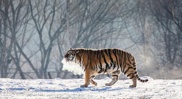 Tygrys syberyjski spaceruje po zaśnieżonej polanie w chmurze pary w silnym mrozie. park tygrysów syberyjskich.