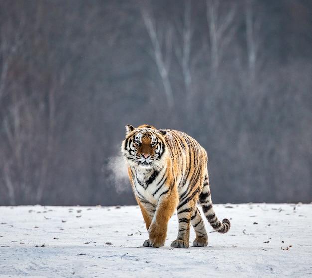 Tygrys syberyjski spaceruje po zaśnieżonej polanie w chmurze pary