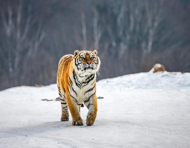Tygrys syberyjski w zimowy dzień