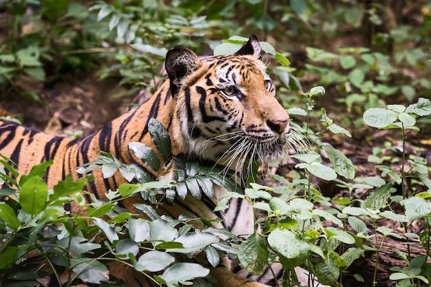 Tygrys szuka pożywienia w lesie. (panthera tigris corbetti) w naturalnym środowisku, dzikie, niebezpieczne zwierzę w naturalnym środowisku w tajlandii.