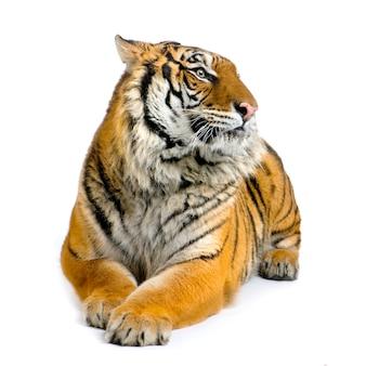 Tygrys w pozycji leżącej na białym tle.
