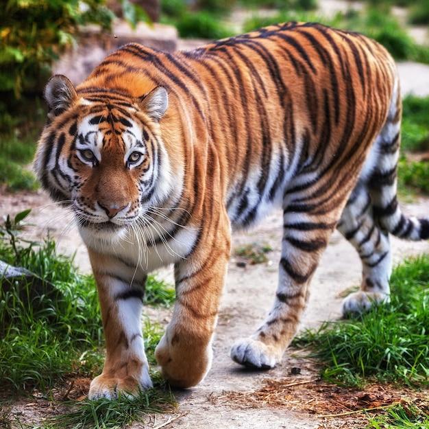 Tygrys w zoo
