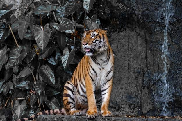 Tygrys z bliska usiąść przed tonem wodospadu ciemności.